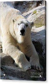 Polar Bear Acrylic Print by Karol Livote