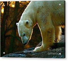 Acrylic Print featuring the photograph Polar Bear by Louise Fahy