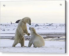 Polar Bear Play-fighting Acrylic Print