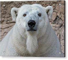 Polar Bear Portrait  Acrylic Print