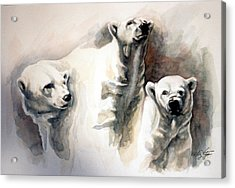 Polar Bear Study Acrylic Print