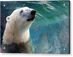 Polar Bear Up Close Acrylic Print