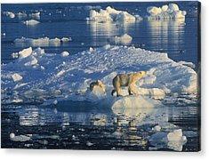 Polar Bear Ursus Maritimus Adult Acrylic Print by Rinie Van Meurs