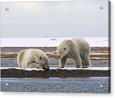 Polar Bear Zzzzzzz's Acrylic Print