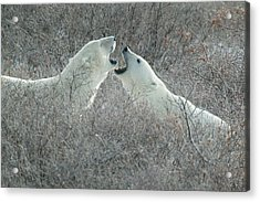 Polar Bears Jawing Acrylic Print
