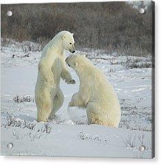 Polar Bears Jousting Acrylic Print