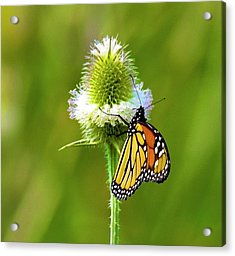 Polka Dotted Butterfly Acrylic Print