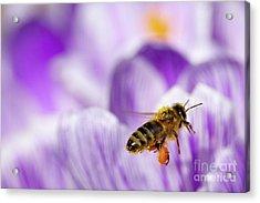 Pollen Collector Acrylic Print by Sharon Talson