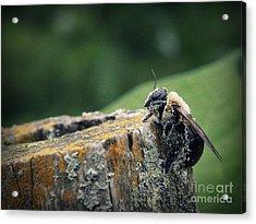 Pollen Dusted Bee Acrylic Print by Amanda Wimsatt