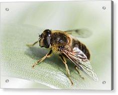 Pollen Dusted Acrylic Print