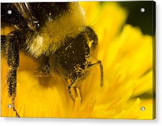 Pollen Head Acrylic Print by Jouko Mikkola