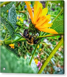 Pollinated Buzz Acrylic Print by Jame Hayes