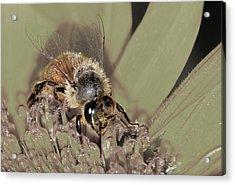 Pollinating Bee Acrylic Print