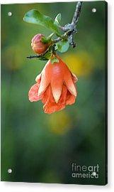 Pomegranate  Bud 2 Acrylic Print by Jeannie Burleson