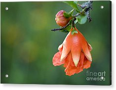 Pomegranate Bud Acrylic Print by Jeannie Burleson