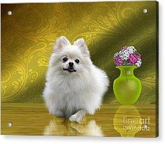 Pomeranian Dog Acrylic Print by Corey Ford