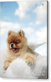 Pomeranian On Clouds Acrylic Print by Brandon Tabiolo - Printscapes