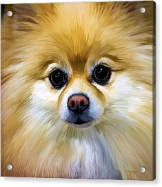 Pomeranian Acrylic Print by Thanh Thuy Nguyen
