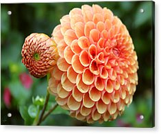 Acrylic Print featuring the photograph Pompom by Margaret Hormann Bfa