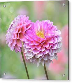 Acrylic Print featuring the photograph Pompon Dahlias by John Poon