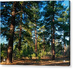 Ponderosa Pine Tree Forest, Kaibab Acrylic Print