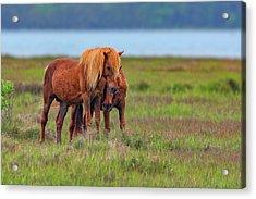Ponies On Assateague Acrylic Print by Rick Berk