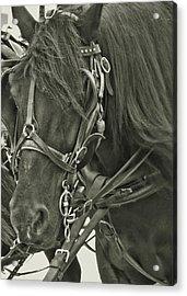 Pony Rides Acrylic Print by Dressage Design