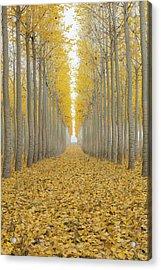Poplar Tree Farm One Foggy Morning In Fall Season Acrylic Print