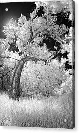 Poplars Under The Sun Acrylic Print
