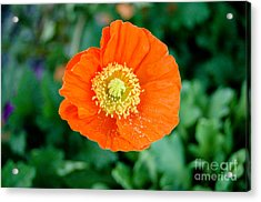 Poppie Acrylic Print by Maureen Norcross