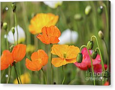Acrylic Print featuring the photograph  Poppies 1 by Werner Padarin