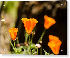 Poppies Along The Road Acrylic Print