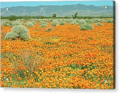 Acrylic Print featuring the photograph Poppies For Ever - Poppy Fields Mohave Desert California by Ram Vasudev
