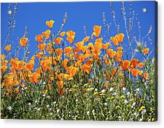 Acrylic Print featuring the photograph Poppies From Below by Cliff Wassmann