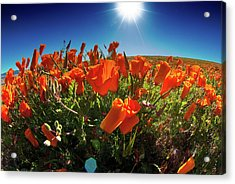 Acrylic Print featuring the photograph Poppies by Harry Spitz