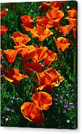 Poppies In Bloom Acrylic Print