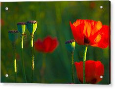 Poppies In Evening Light Acrylic Print by Joan Herwig