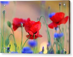 Poppies In Spring  Acrylic Print