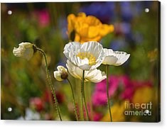 Poppies In The Spring Acrylic Print