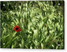 Poppies In Wheat Acrylic Print by Raffaella Lunelli