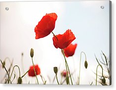 Poppies Acrylic Print by Olivia Bell Photography