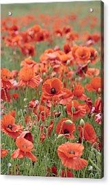 Poppies Acrylic Print by Phil Crean