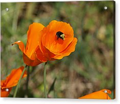 Poppy Beeing Admired Acrylic Print by Laura Allenby