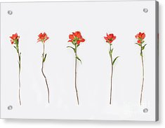 Poppy Blossoms Acrylic Print by Brittany Bevis
