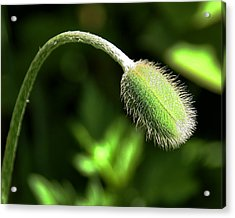 Poppy Bud In Sunlight Acrylic Print