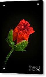 Poppy Bud Acrylic Print