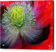 Poppy Acrylic Print by David April