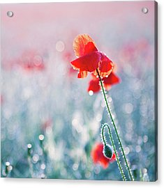 Poppy Field In Flower With Morning Dew Drops Acrylic Print