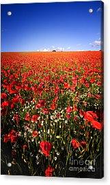 Poppy Field Acrylic Print by Meirion Matthias