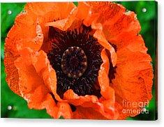 Poppy Happening Acrylic Print by Diane E Berry